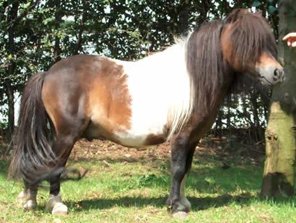Verschil Herkennen Shetlander Minipaard Falabella E D